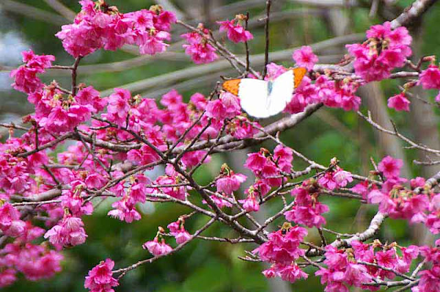 Butterfly visiting cherry blossoms in Okinawa