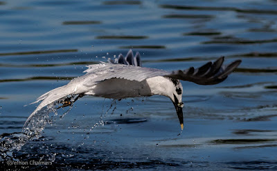 Birds In Flight Photography Cape Town: Canon EOS 7D Mark II Gallery  Copyright Vernon Chalmers