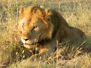 "2 Days tour Queen Elizabeth National Park, a short safari with so many safaris to see lions, leopard, elephants, 600 birds species, primates, boat rides,etc at the best cost. We offer low budget, mid range and luxury packages for safari in Queen Elizabeth National Park. This safari takes you to all sections of Queen Elizabeth National Park including Kazinga, game drives in Queen Elizabeth Park - the best you can get on any Uganda safari by a local tour operator. Accommodation at Mweya Safari Lodge, Katara Lodge, Jacana Lodge both luxury and budget"">"