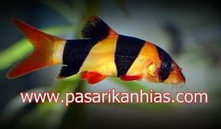 Ikan hias Botia Fish