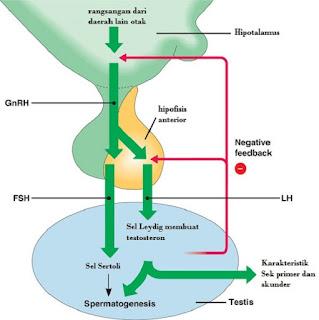 Hormon pada Sistem Reproduksi Manusia - berbagaireviews.com