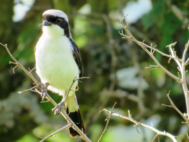 Grey-backed Fiscal in Uganda