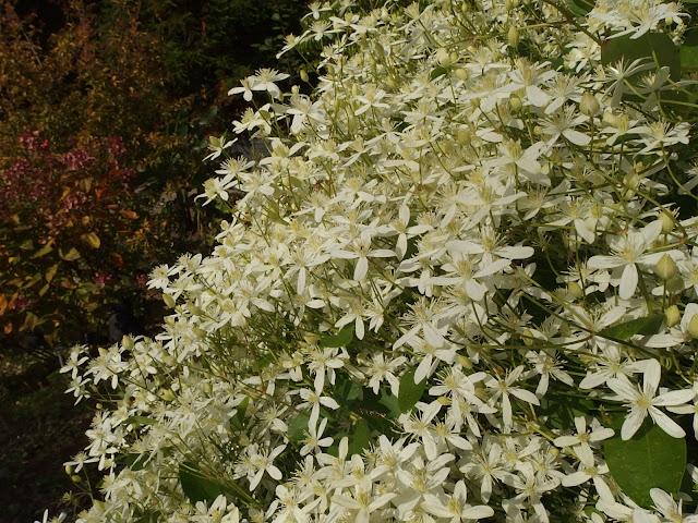 Clematis terniflora aka 'Sweet Autumn Clematis'