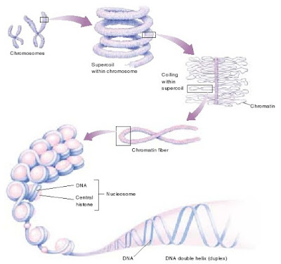 DNA double helix, kromosom, kromatin, superkoil DNA, nucleosome dan histon