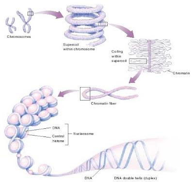 DNA double helix, kromosom, kromatin, superkoil DNA, nucleosome dan histon