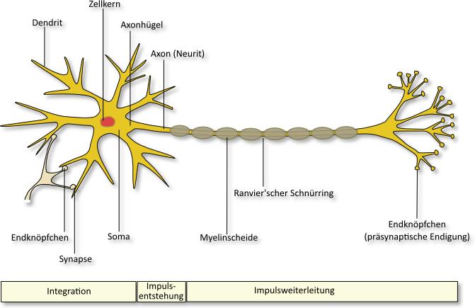 natasa.m.sajlovic: Die Neuroanatomie-Die Nervenzelle (Teil 1)