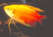 Gurami Thicklip, ikan