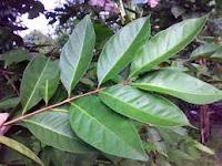 manfaat batang daun salam