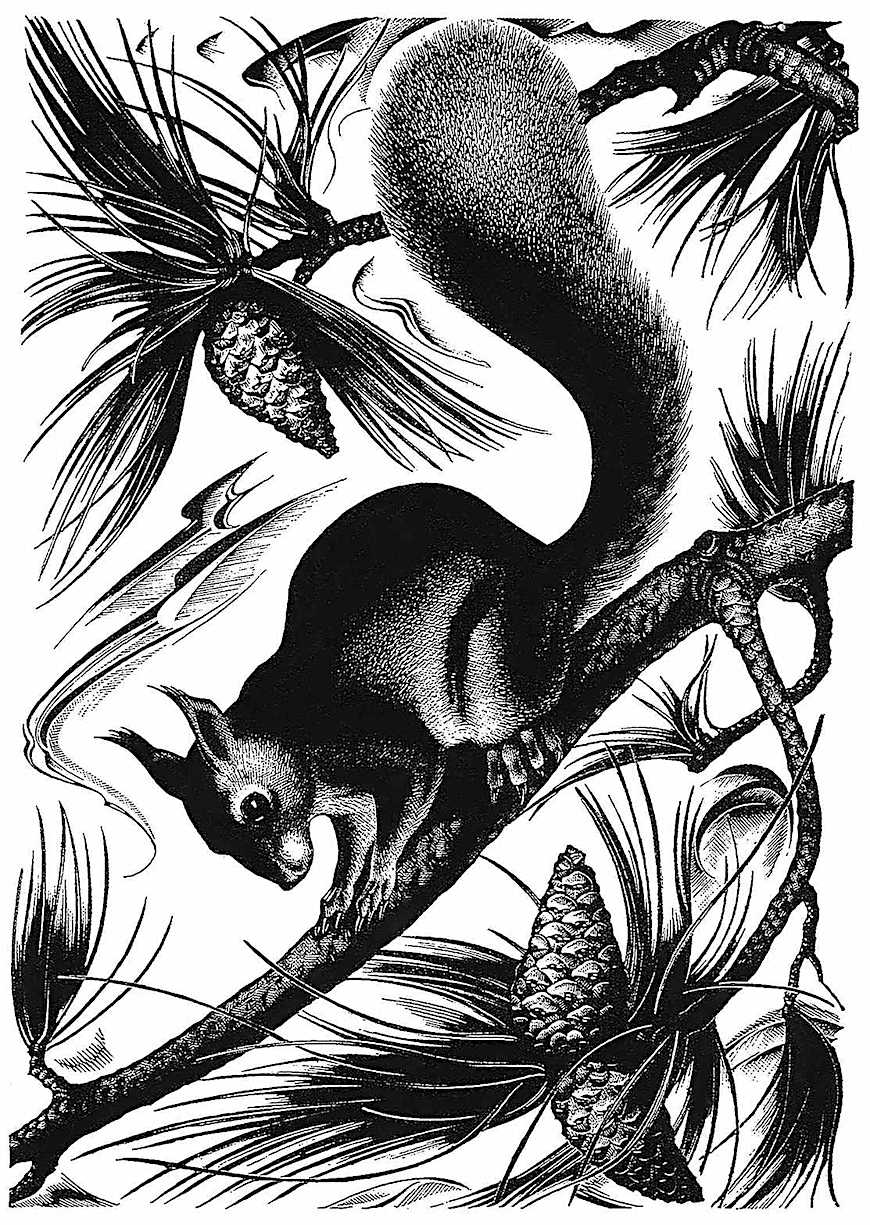 an Agnes Miller Parker illustration of a squrrel in pine
