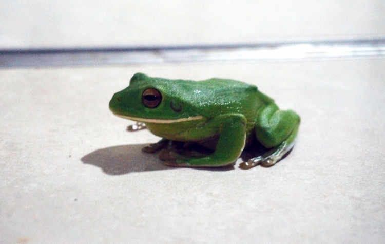 green tree frog, Mission Beach, Australia, Euriental