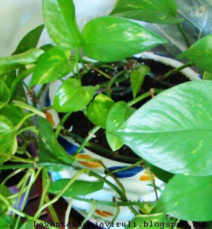 El Poto Epipremnum Aureum Es Una De Esas Plantas Que Quedan Bien En Cualquier Rincón La Casa Planta Resistente Donde Las Haya Originaria Del