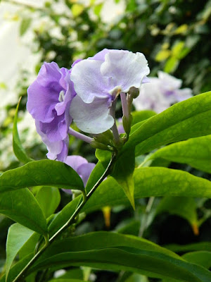 2018 Allan Gardens Conservatory Winter Flower Show Brunfelsia grandiflora blooms by garden muses--not another Toronto gardening blog
