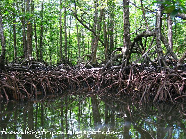 Deeper into Palawan's Mangrove Forest  Deeper into Pal...