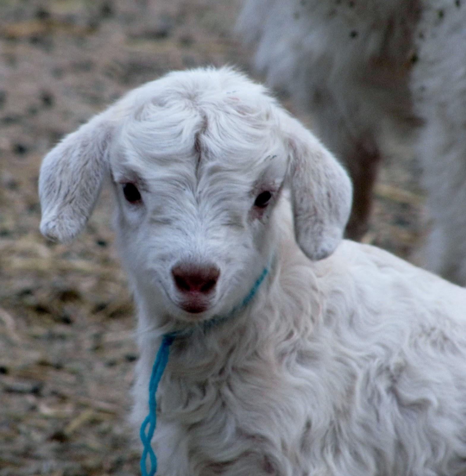 Liberty Farm Cashmere Goats I Just Love Baby Goats