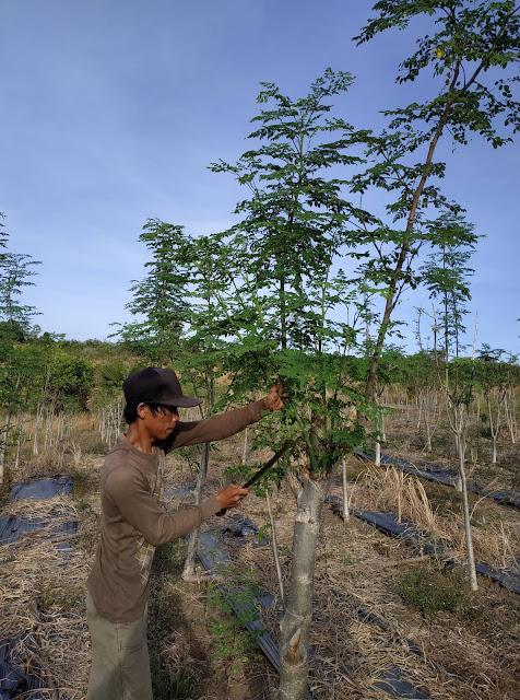 harvesting-moringa