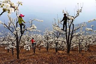 en la ardua tarea de polinizar a mano en los cultivos de manzanas y peras del suroeste de China donde las abejas silvestres han sido erradicadas por el excesivo uso de pesticidas y la falta de un hábitat natural.