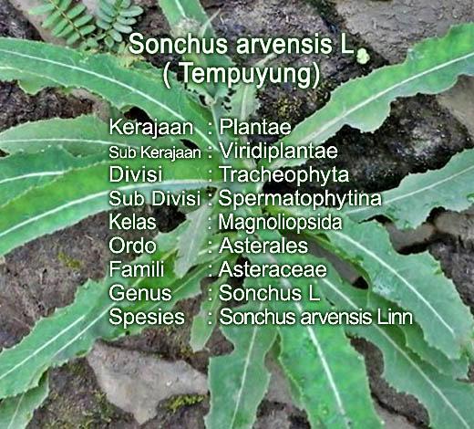 Memanfaatkan daun Tempuyung untuk obat asam urat