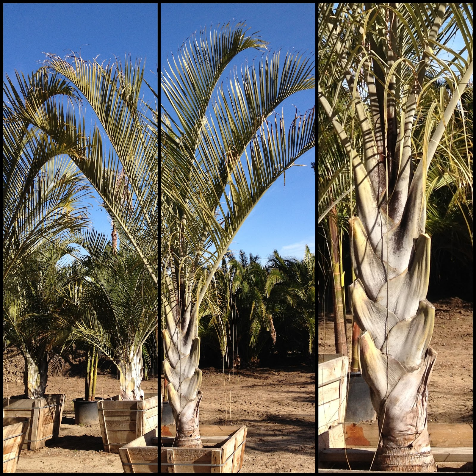 Gregory Palm Farms April 2012