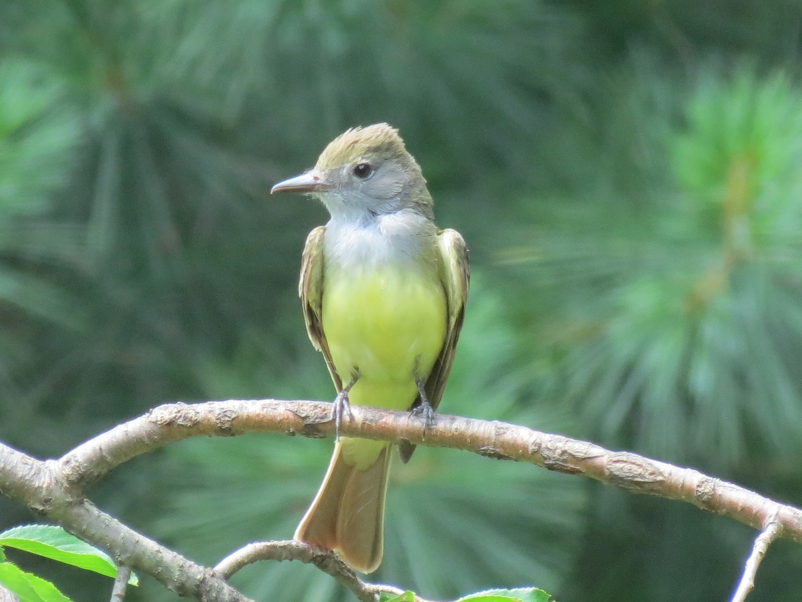 Viewing Nature With Eileen Great Crested Flycatcher