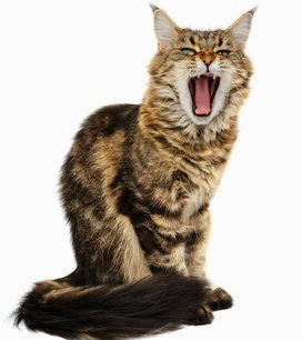 What;'s your cat saying when he yawns? Find out about cat body language translated.