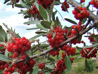 barberry buffaloberry fruit images