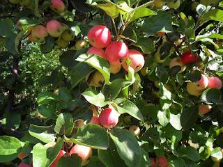 Корнесобственная яблоня обильно плодоносит
