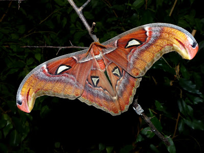 Attacus lemairei male