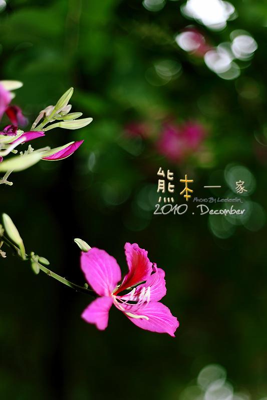 三峽北大學府路。艷紫荊櫻花步道~特區最美的人行道