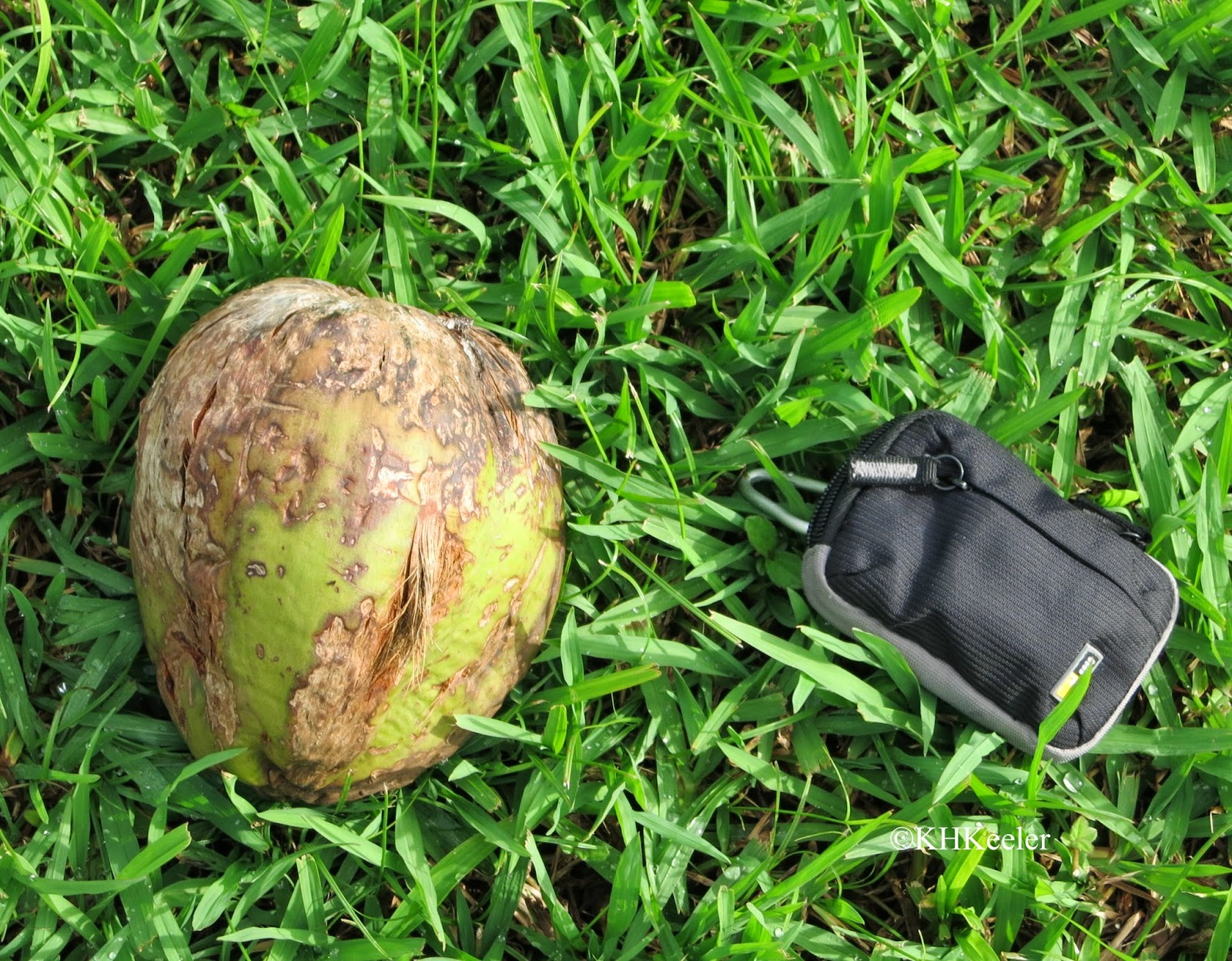 coconut with camera case for scale