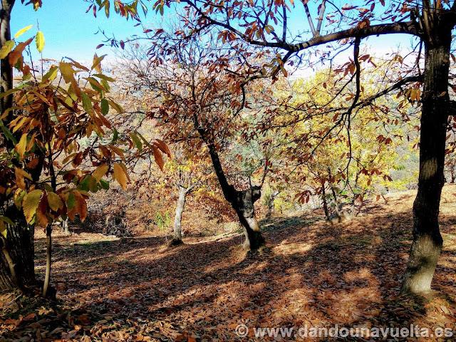 Entre castaños en la ruta de senderismo de los castaños Parauta