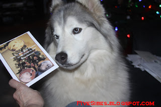 Husky Christmas Cards.Fivesibes Christmas Card Exchange Was So Much Fun