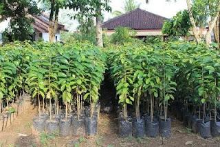 harga bibit pohon