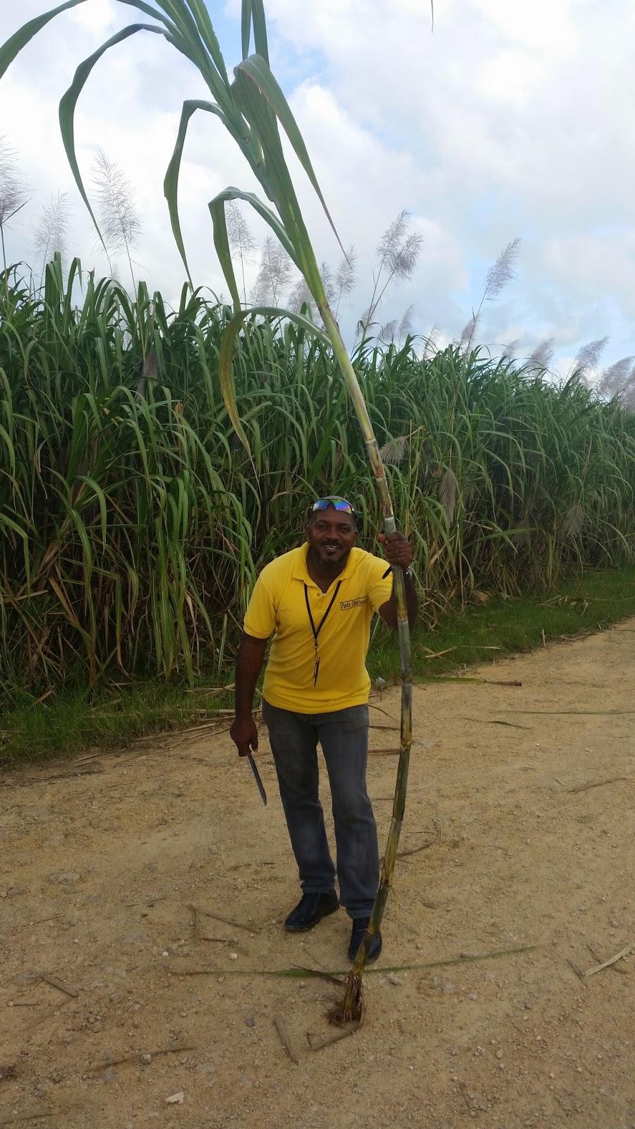 Plantacja trzciny cukrowej na Dominikanie