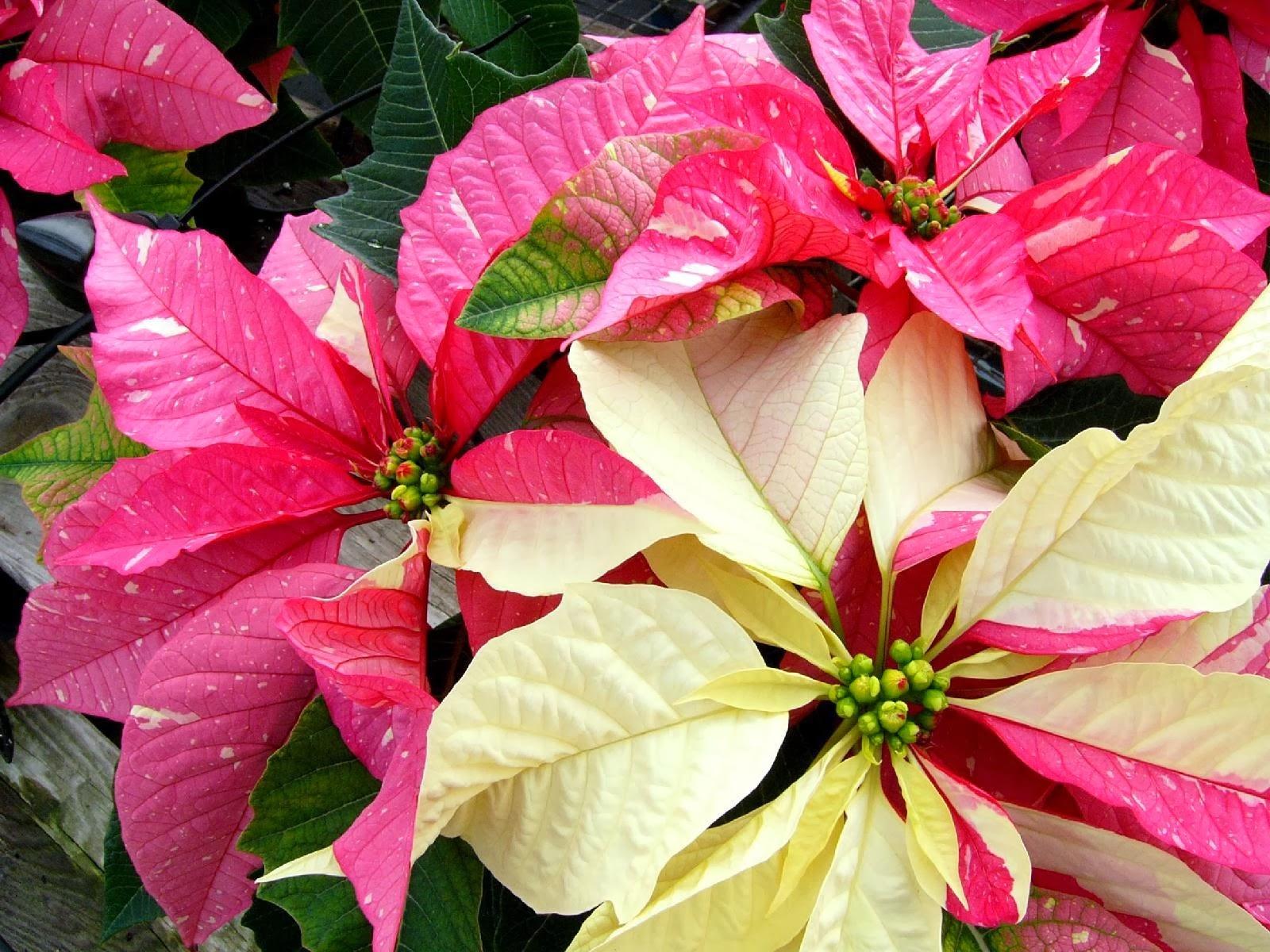 Flower Homes: Poinsettia Flowers