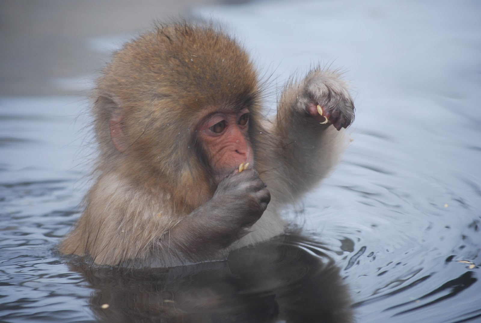 Japan Journal Snow Monkeys The Japanese Quot Alps Quot And Onsen