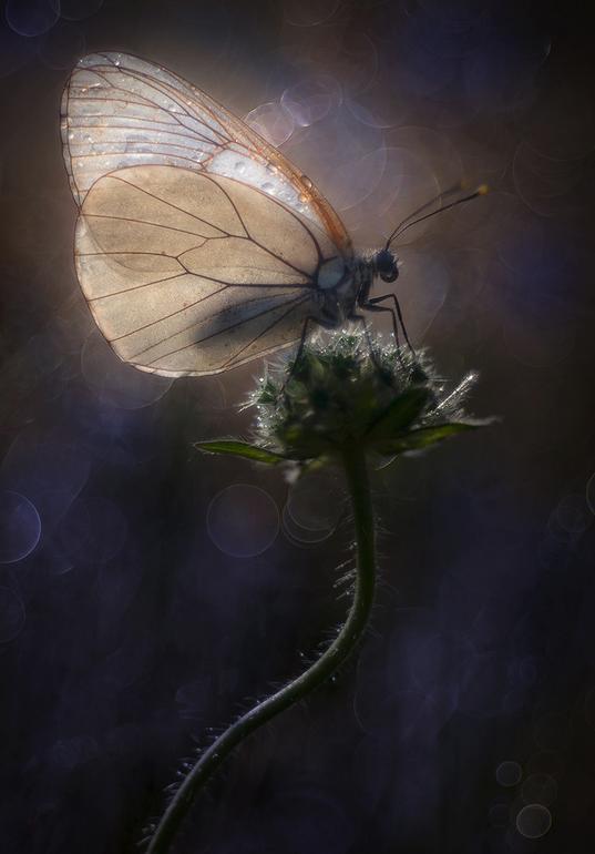 Mariposa de alas frágiles y nacaradas sobre una planta
