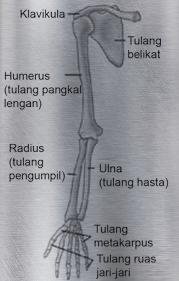 Fungsi Tulang Hasta Pada Manusia