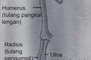 8 Fungsi Tulang Hasta Pada Manusia