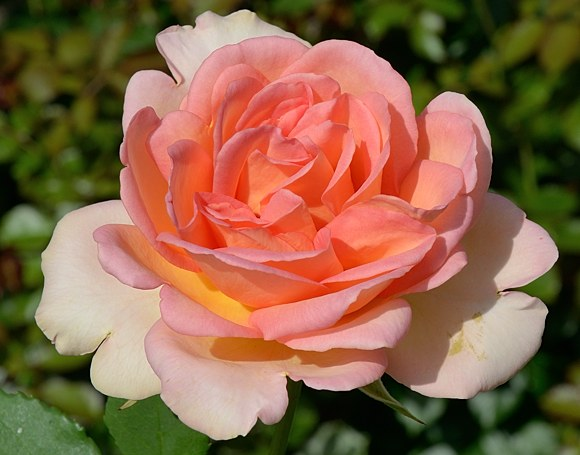 Fantasia Mondiale сорт розы Кордес фото купить саженцы Минск питомник