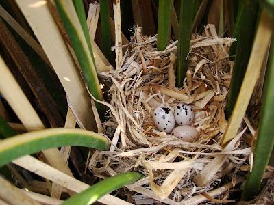 """alt=""""nido de varillero alas amarillas,Agelasticus thilius,aves de mendoza"""""""