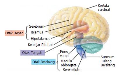 Sistem saraf manusia  Otak