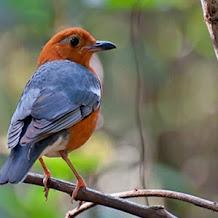 Perawatan Burung Anis Merah Tanpa Voer Biar Bisa Ngeplong