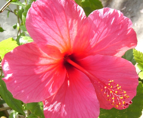 Hd Tropical Hawaiian Flower