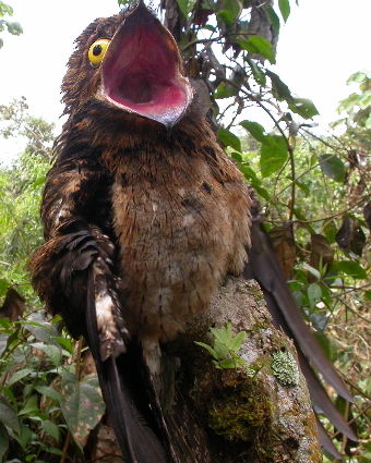Real Monstrosities  Potoo Potoo