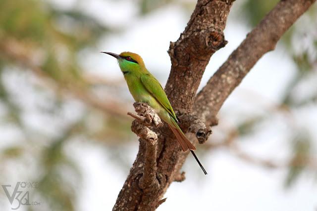 Green Bee-eater(16–18 cm) - Davangere