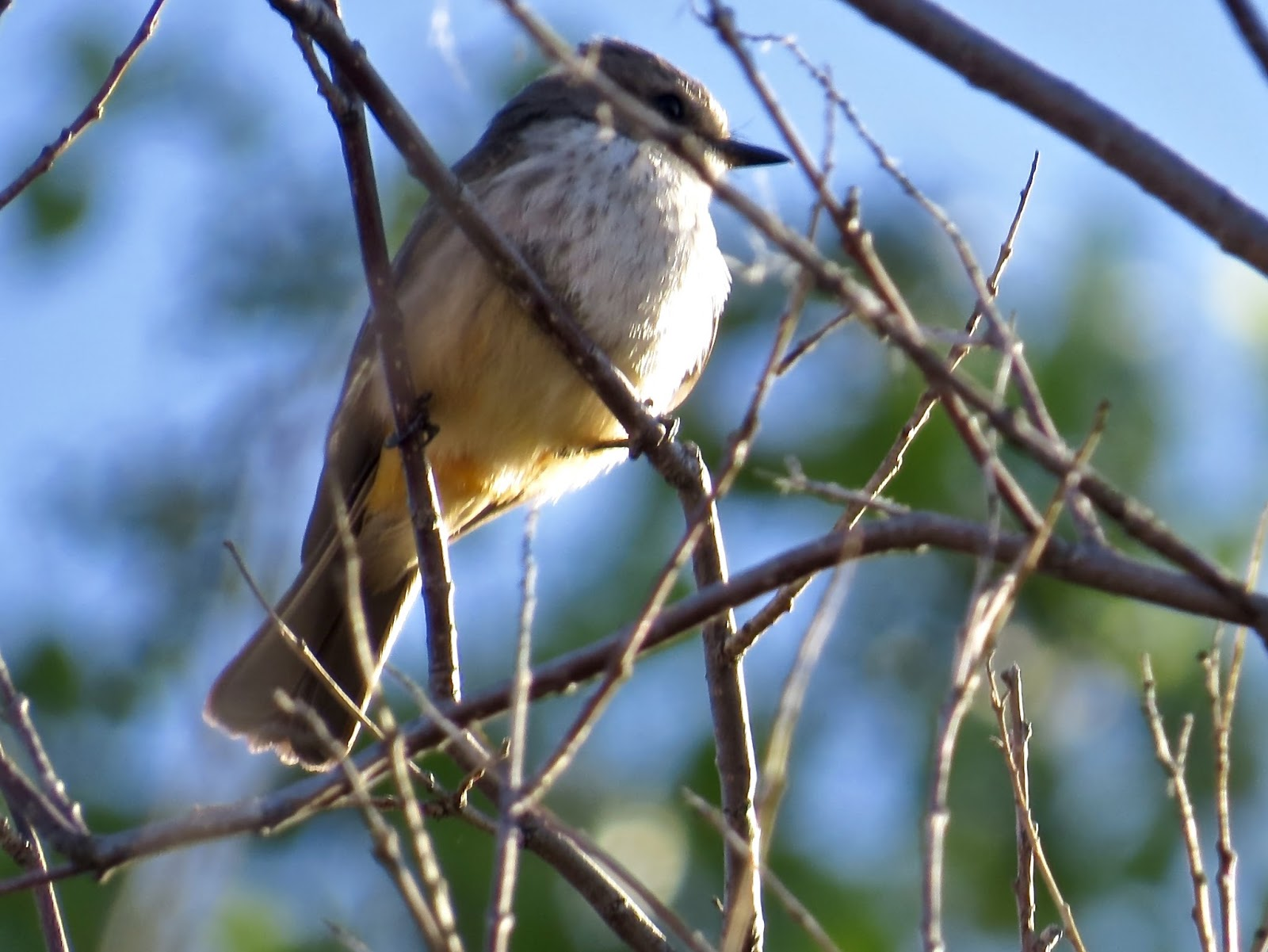 Arizona gila county pine - Female Vermilion Flycatcher Male At Top Of Page