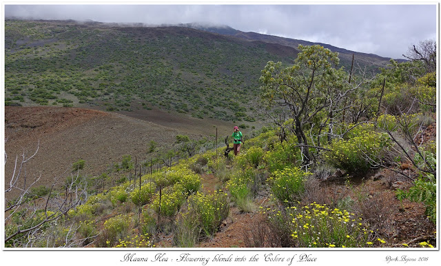 Mauna Kea: Flowering blends into the Colors of Place
