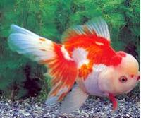 Jenis Ikan Koki Orando warna merah putih