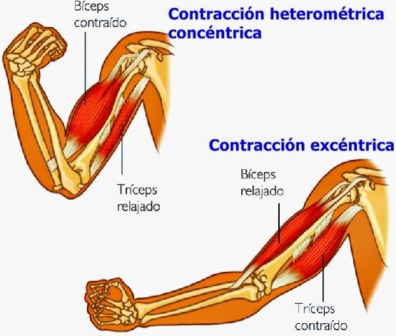 Tipos de contracción muscular: fisiología del ejercicio y el deporte