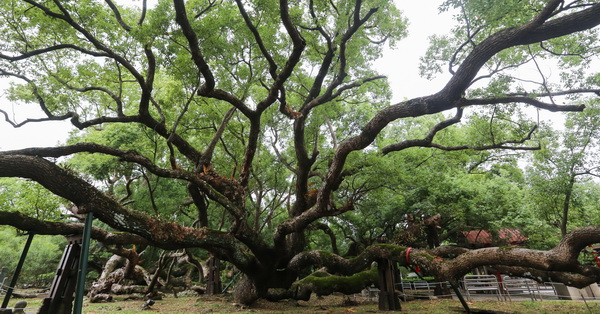 台中石岡|五福臨門神木-五樹環抱共生,延伸的枝幹發展出奇特景觀